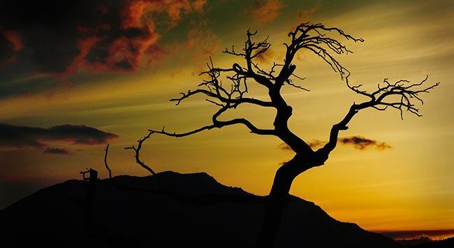 burmis tree at sunset