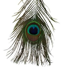 Peacock_Featherw